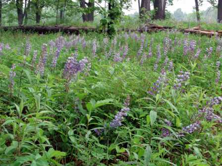 Lupines at Kitty Todd Preserve